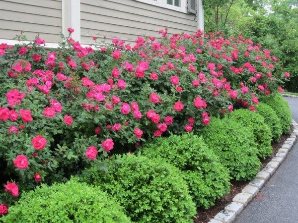 05 Apr Alternatives To Knockout Roses